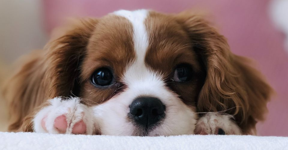 Where To Find Puppies For Sale 10 Ethical Sites For Puppy Adoption